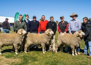 Wendouree Shield - Pen of 3 - Tara Park Merinos